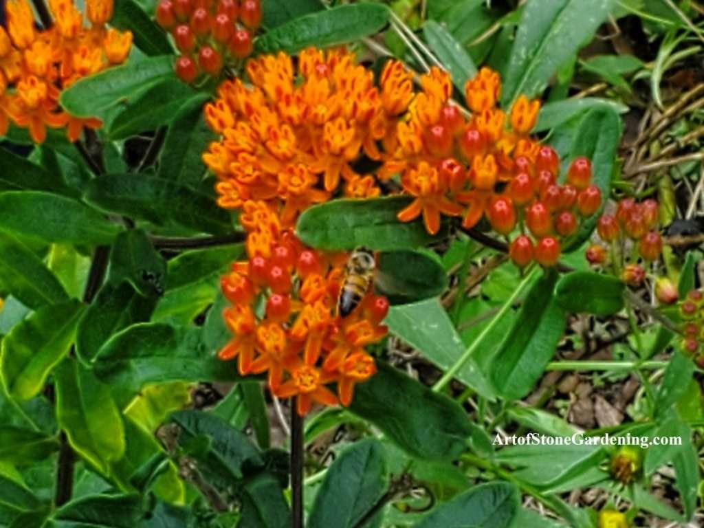 Milkweed and Bee