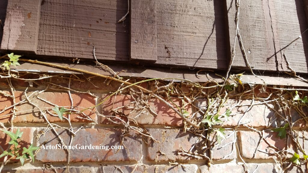 Ivy behind siding