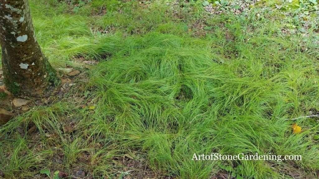 Native Carex grass