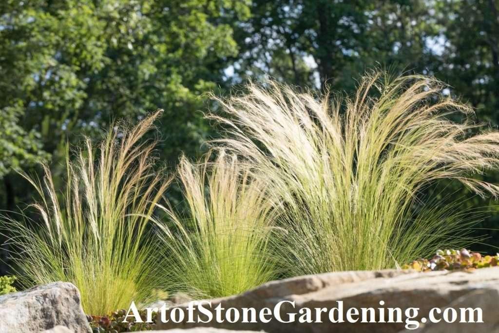 drought tolerant Nassella grass