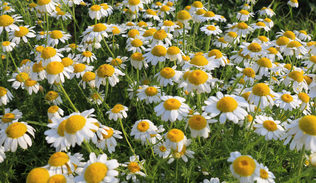 The benefits of chamomile for humans is actually the same for cats. Though much smaller doses would be needed, chamomile is soothing for the stomach, nerves, and skin.