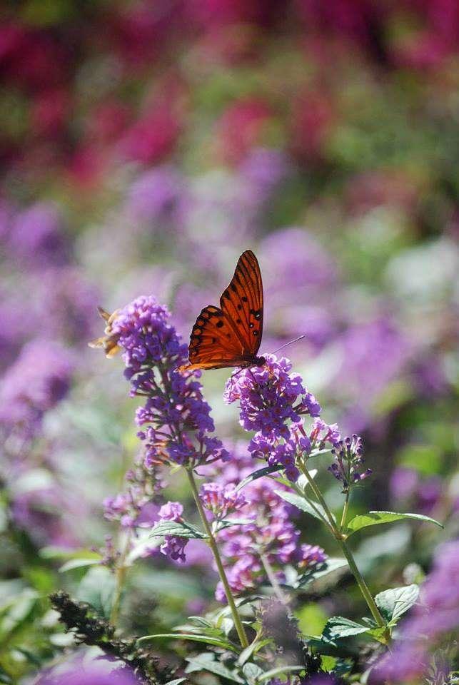 Georgia Butterfly Host Plants