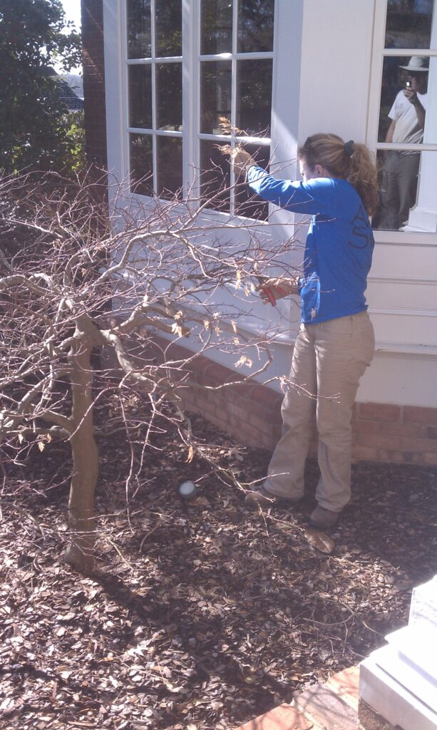 Pruning Maple in Gainesville Georgia