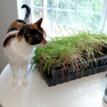"If you want to introduce grass to a pet who is strictly or mostly indoor, growing your own ""cat grass"" or ""wheatgrass"" is very easy and has many health benefits. It can also deter them from chewing on any of your beloved house plants!"