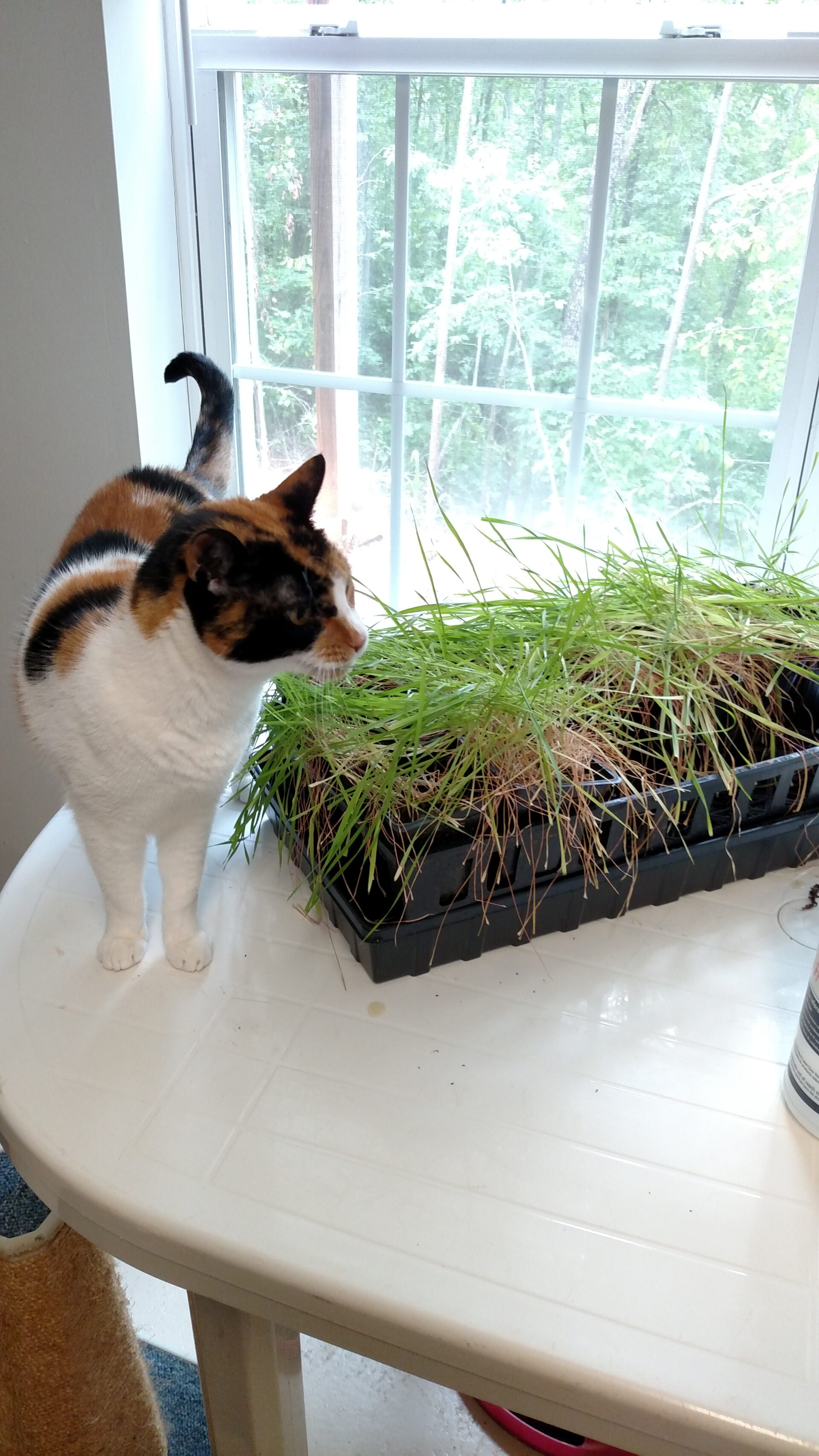 """If you want to introduce grass to a pet who is strictly or mostly indoor, growing your own """"cat grass"""" or """"wheatgrass"""" is very easy and has many health benefits. It can also deter them from chewing on any of your beloved house plants!"""