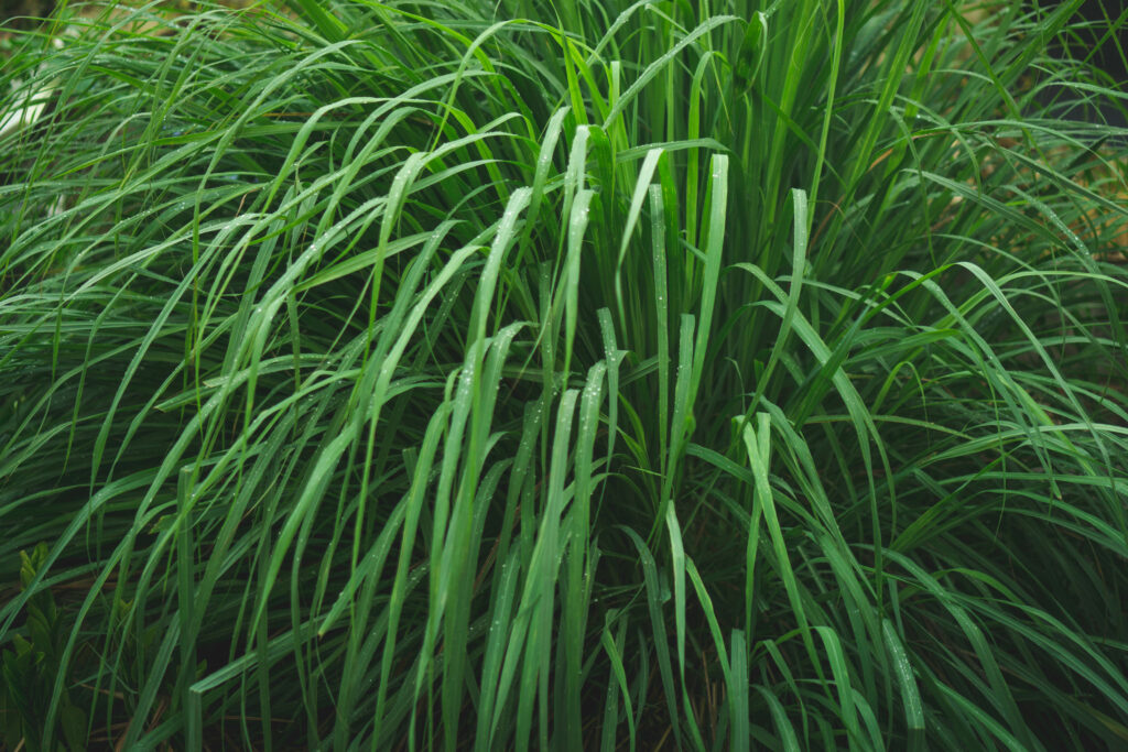 Lemongrass is similar to catnip in the way it affects cats.