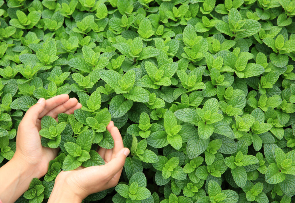 Mint can freshen your dog's breath and also help with digestion.
