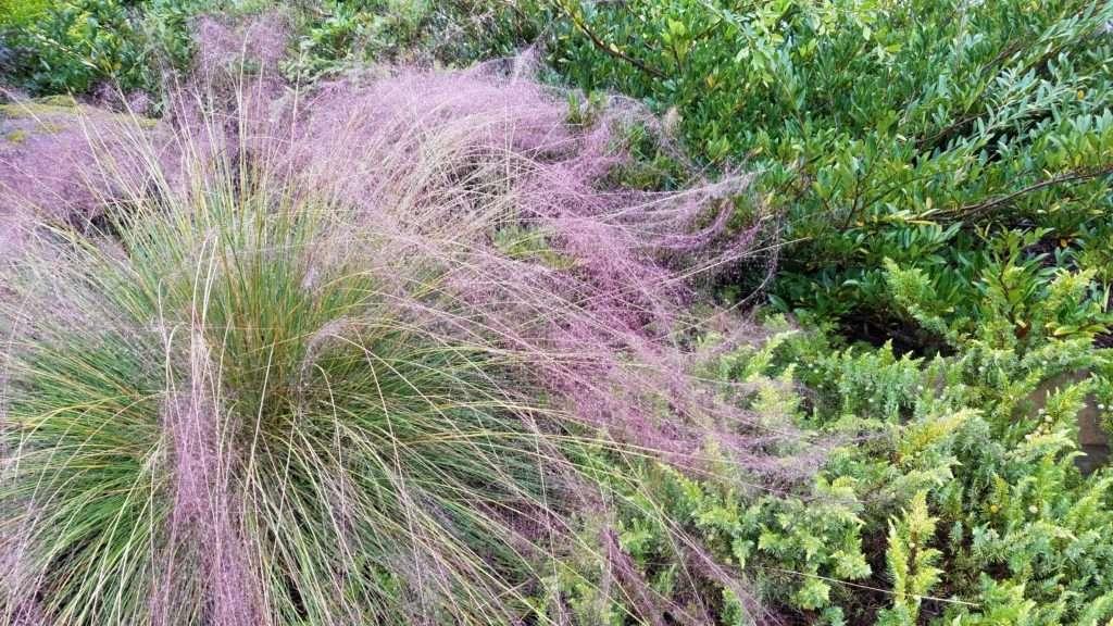 pink muhli grass