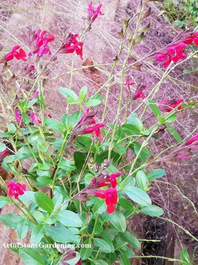 Salvia greggi