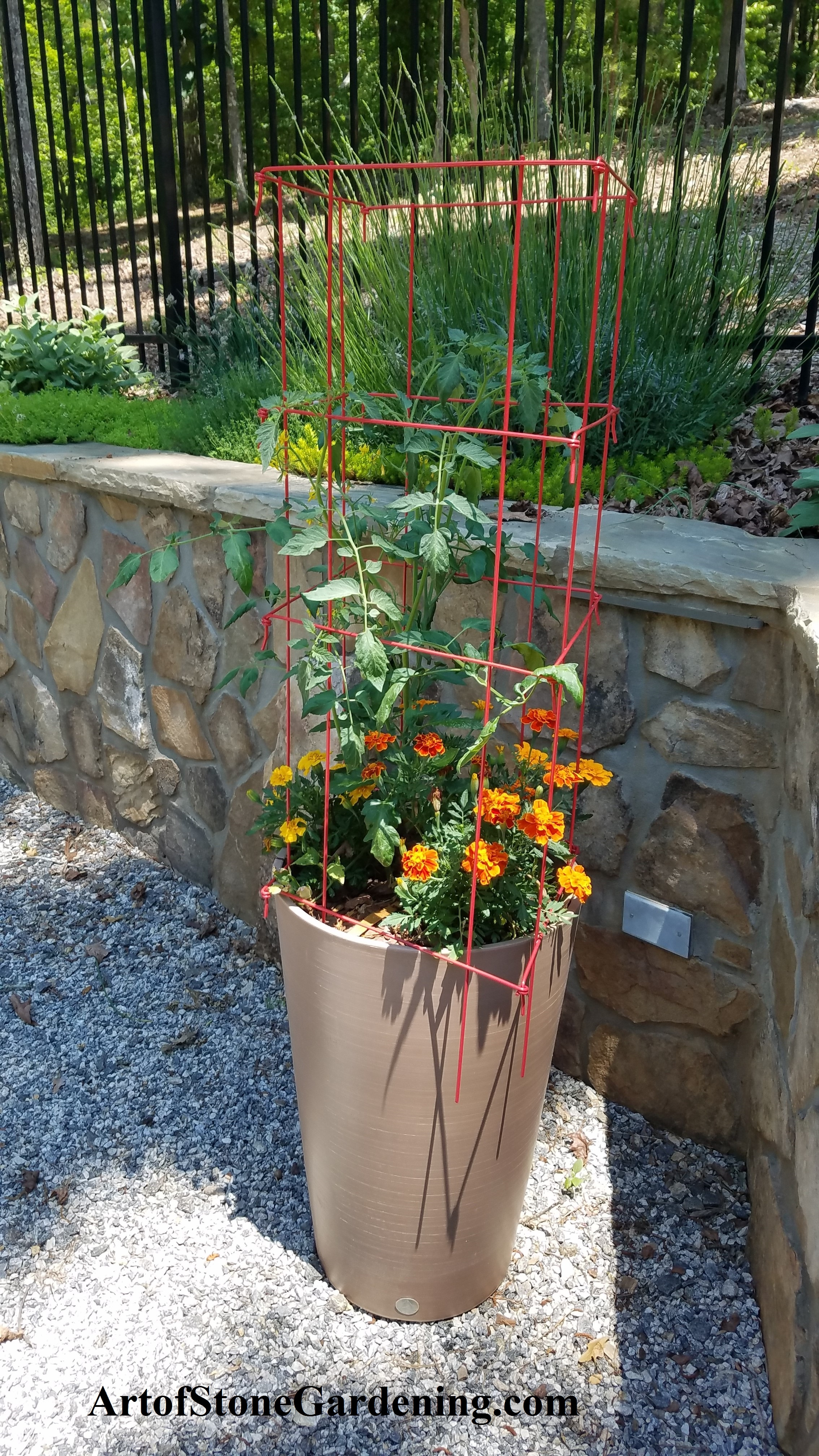 Marigolds and tomatoes in pot