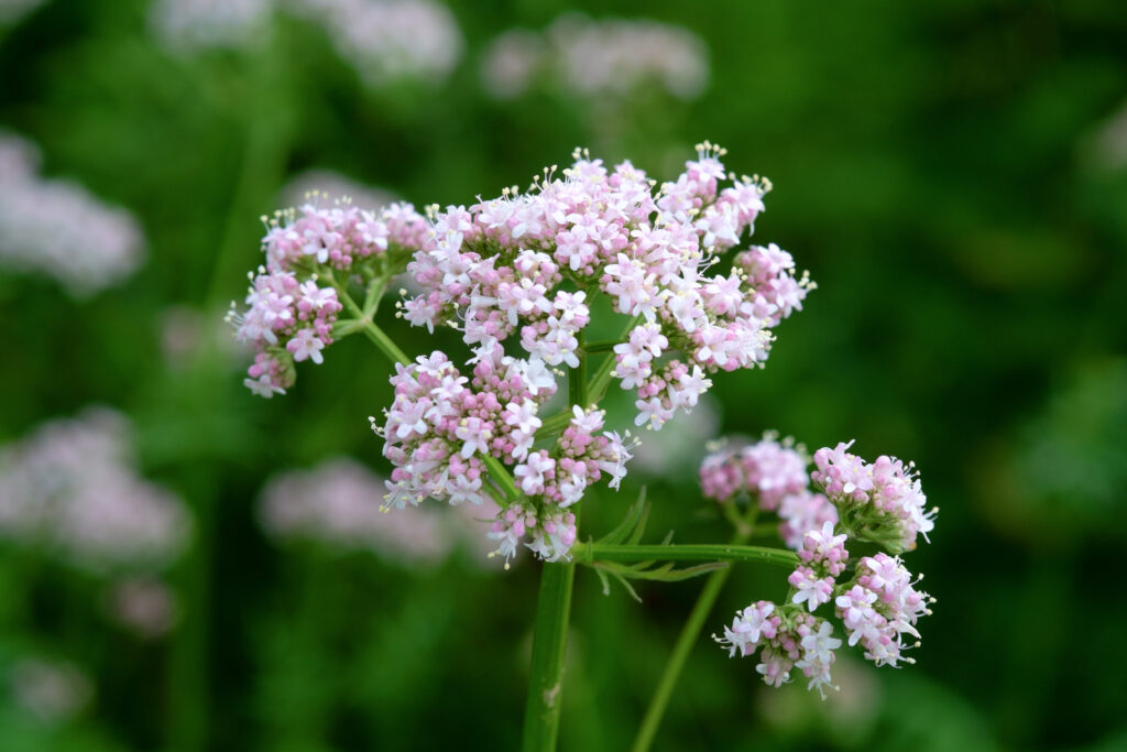 Valerian is a calming herb for dogs and its root is even used as a mild sedative prior to car trips, storms, or fireworks.