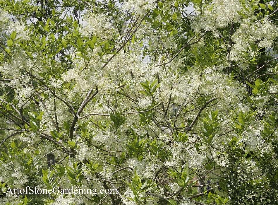 bird garden tree american fringe tree - Garden Design Trees