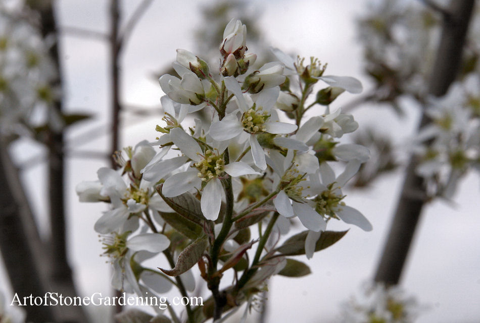 Trees for Pollinator and Butterfly Gardens Serviceberry