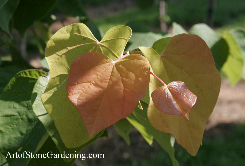 Trees for Pollinator and Butterfly Gardens Eastern Redbud