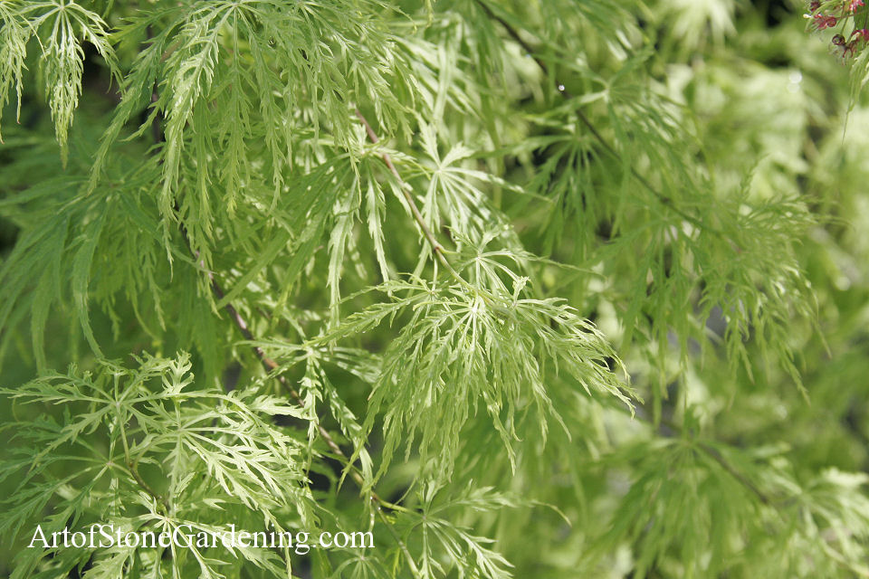 Acer japonicum - Japanese Maple