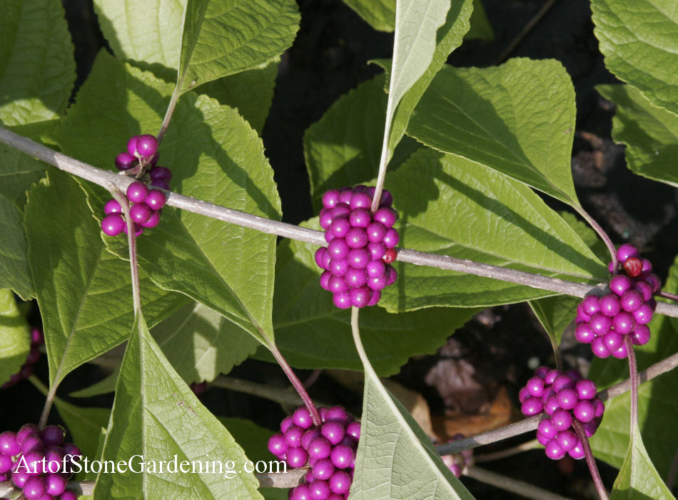 Native Bird Garden Plants American Beautyberry