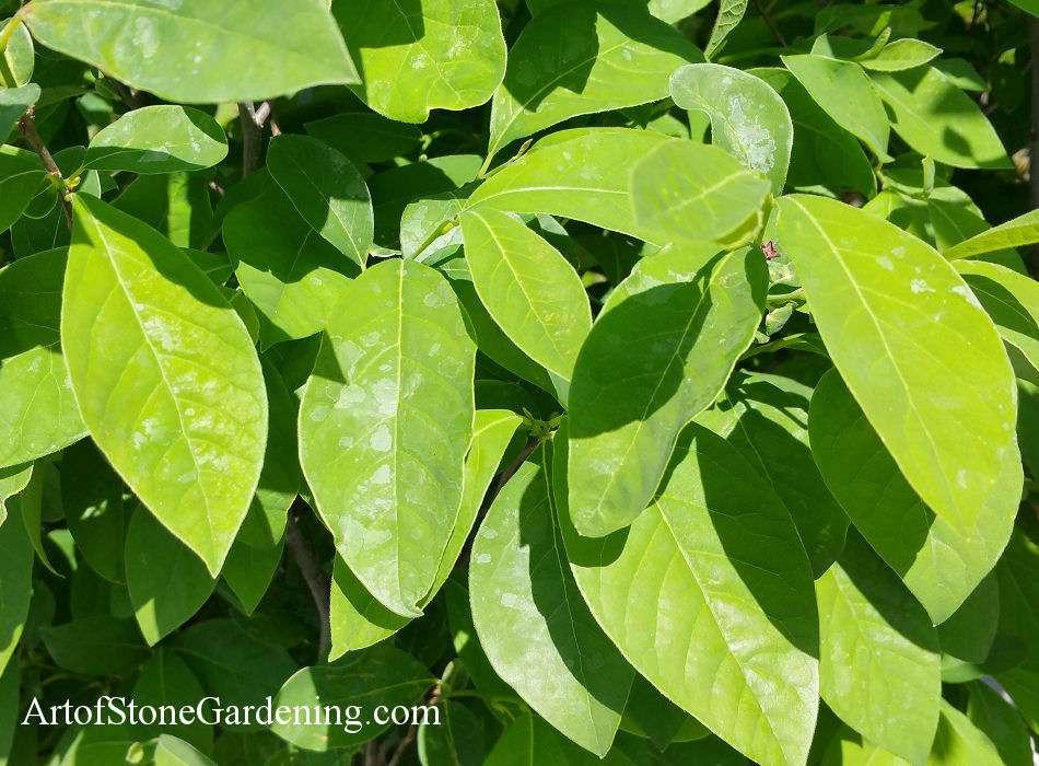 Native Bird Garden Plants Spicebush