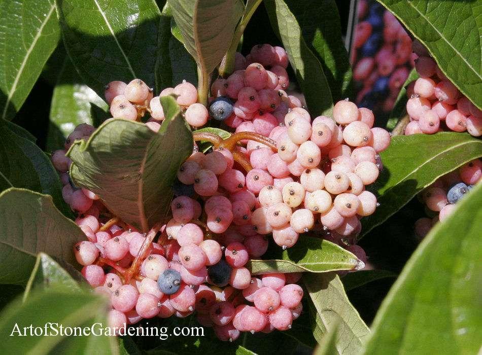 Native Bird Garden Plants Viburnum nudum