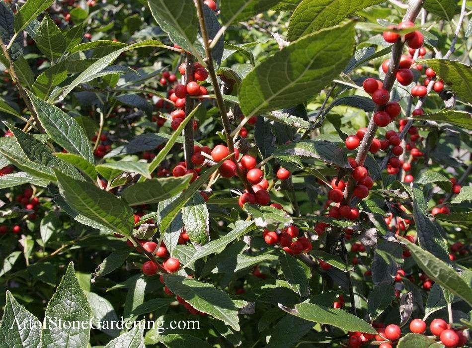 Native Bird Garden Plants Winterberry Holly