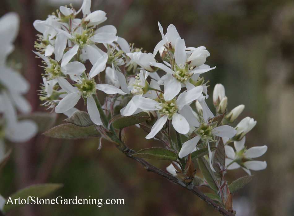 bird garden tree serviceberry