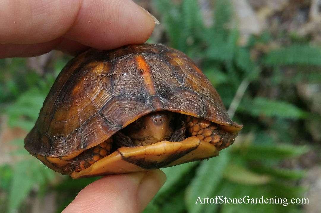 Creating Box Turtle Habitat Backyard Wildlife Gardening Art Of Stone Gardening