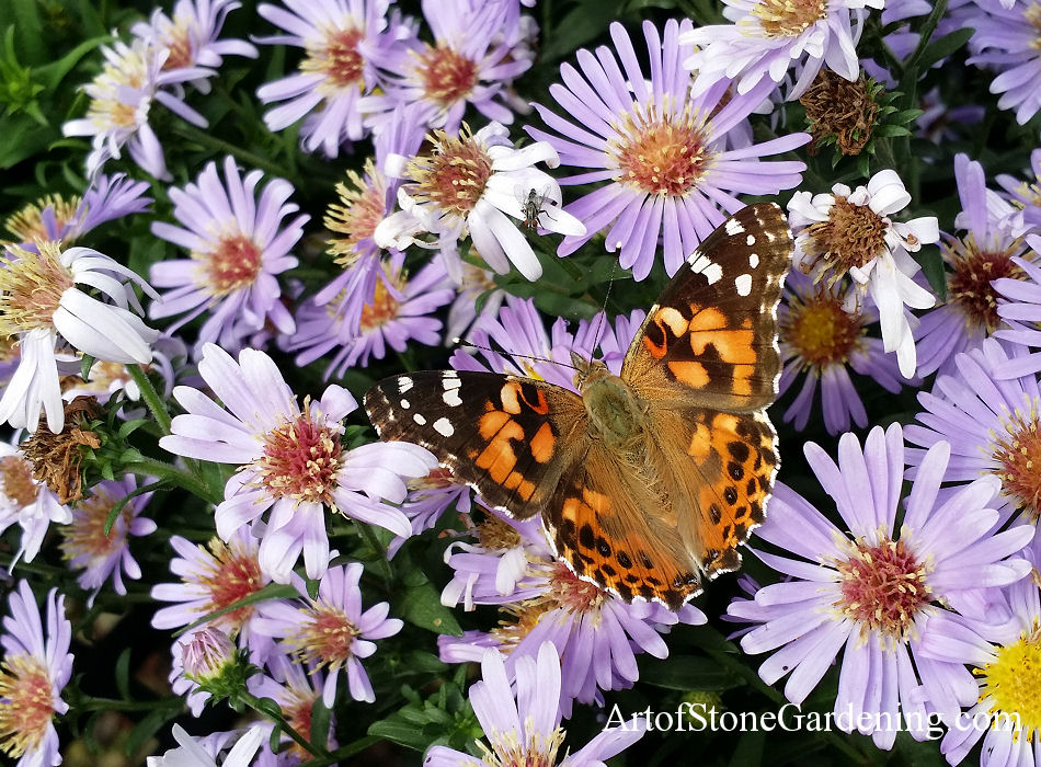 Aster with Butterfly