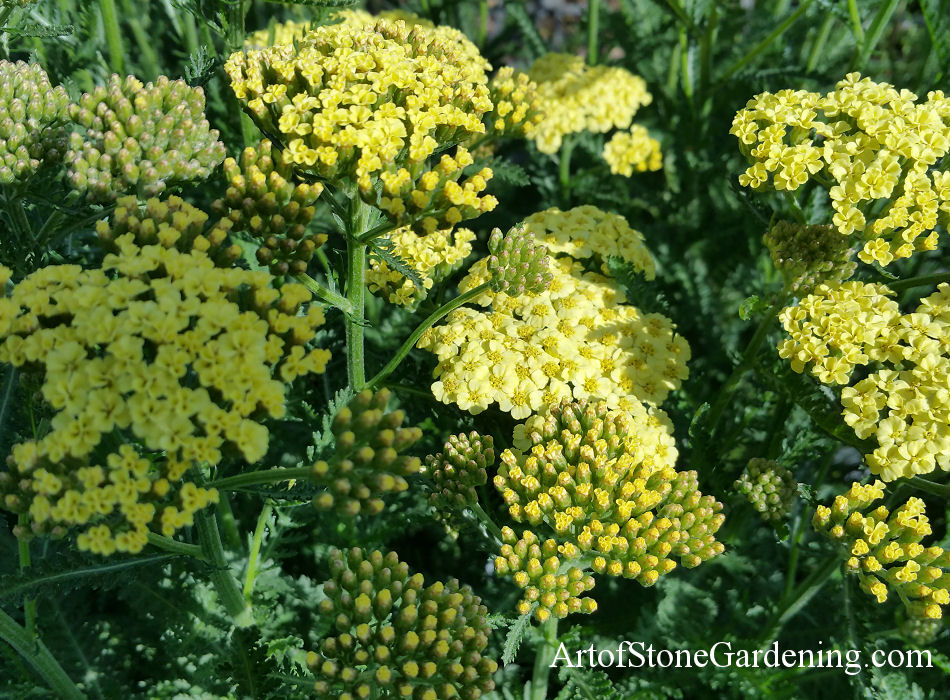 butterflies yarrow