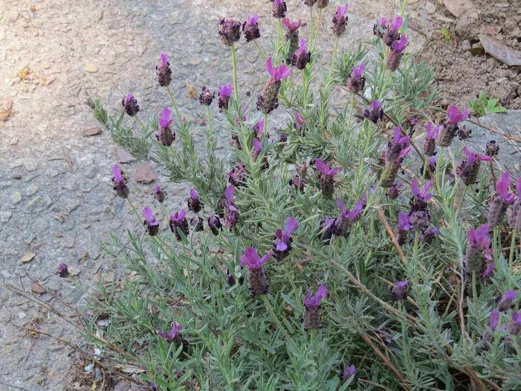 Deer resistant lavender in Georgia