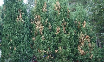 Browning on Leyland Cypress