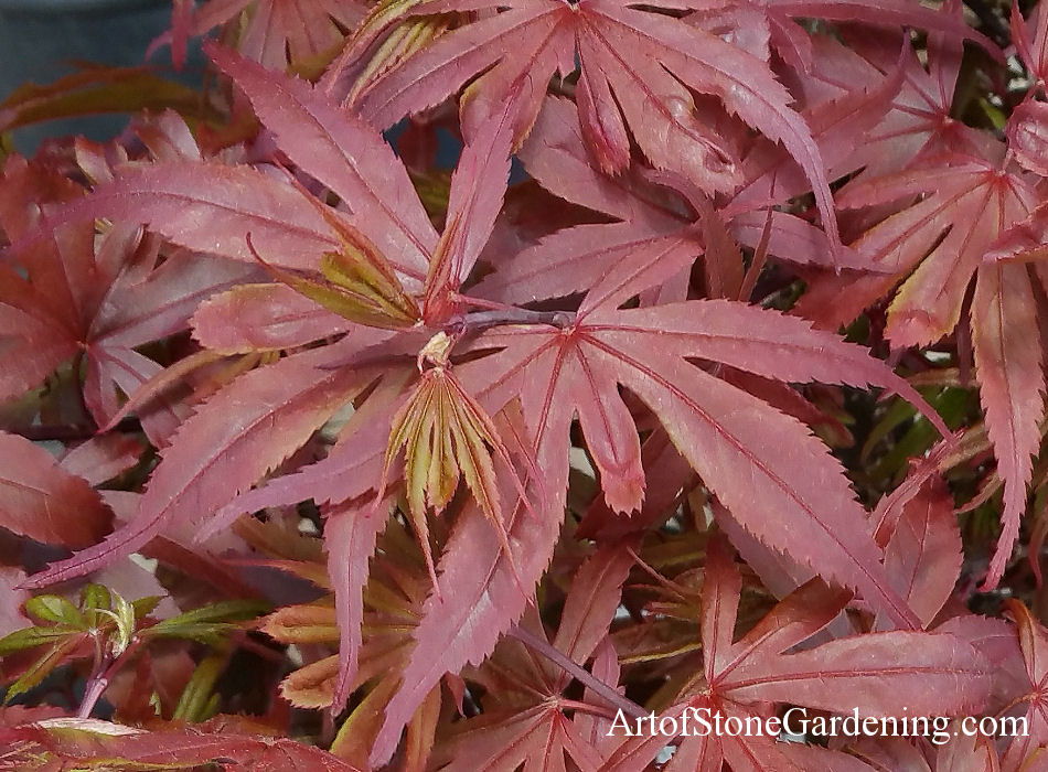 Japanese Maple - Acer japonica