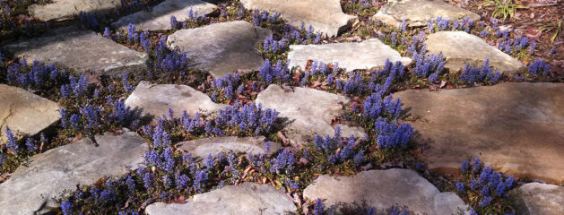 Stepping Stones with Ajuga