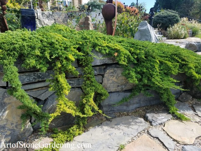 Juniper creeping over stone wall