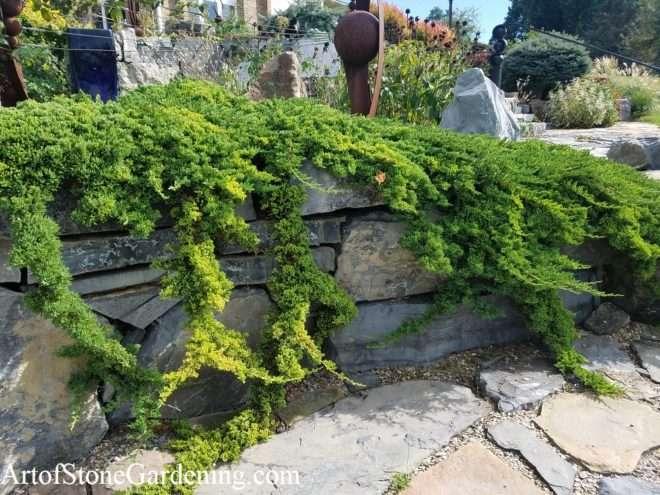 Juniper creeping over stone wall