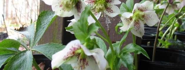 Helleborus – Lenten Roses