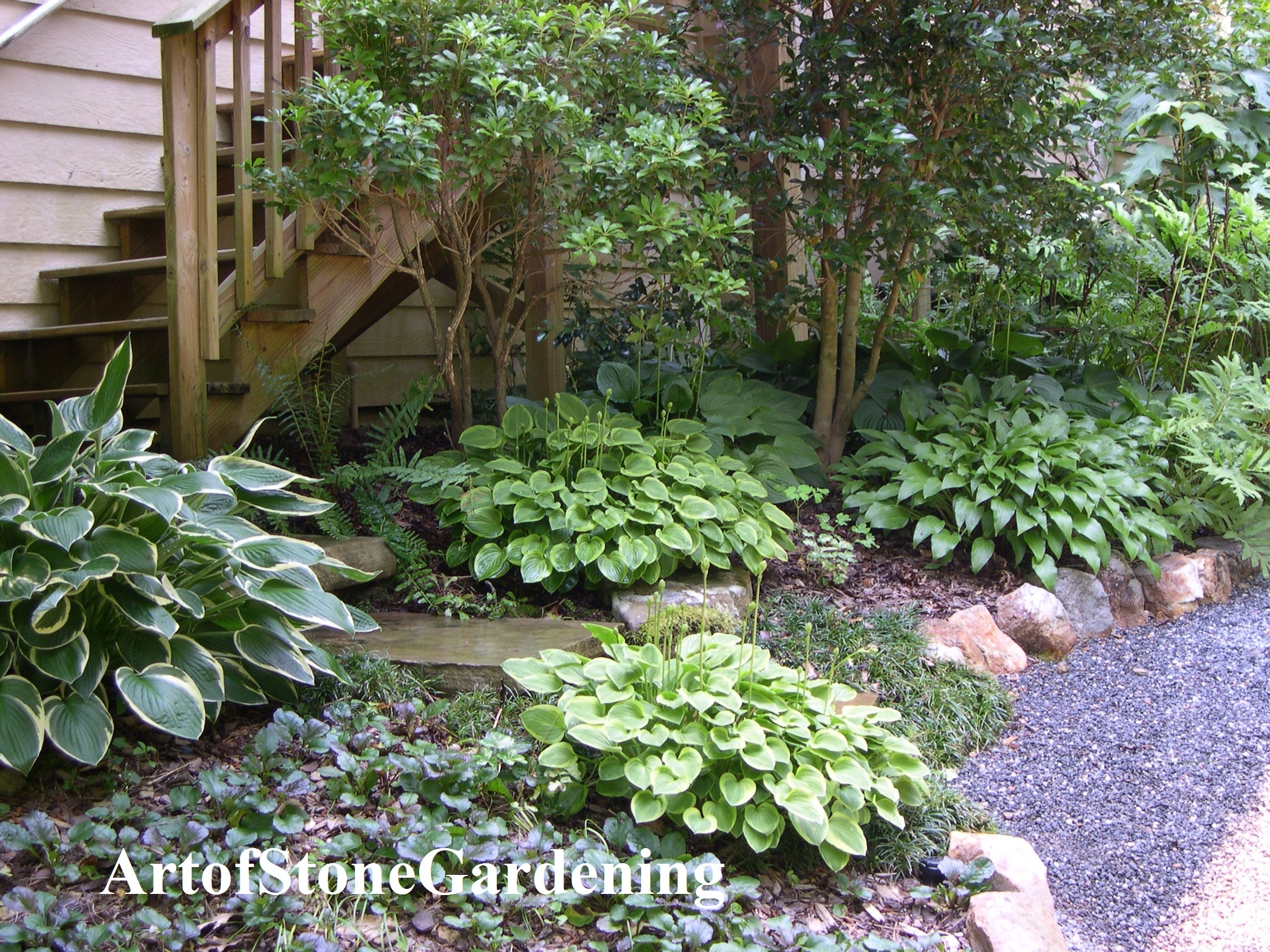 Hostas in shade garden