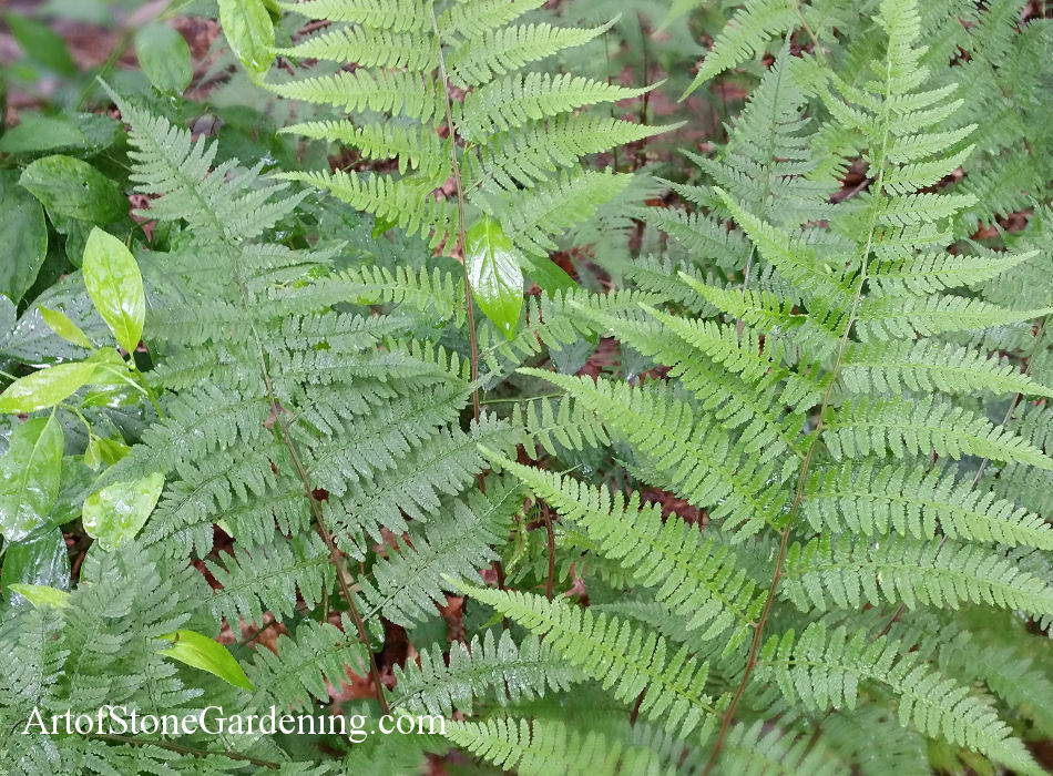 native fern lady wood