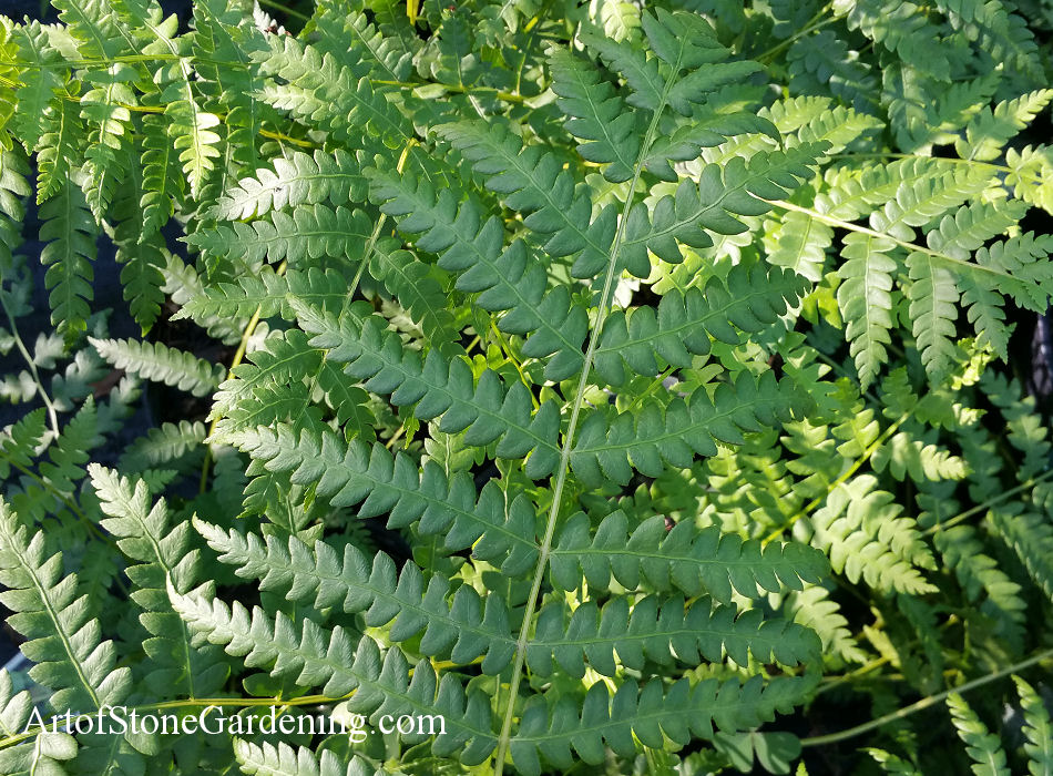 native ferns cinnamon
