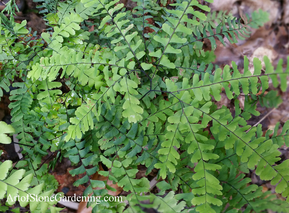 native ferns maidenhair