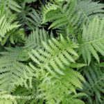 native ferns ostrich