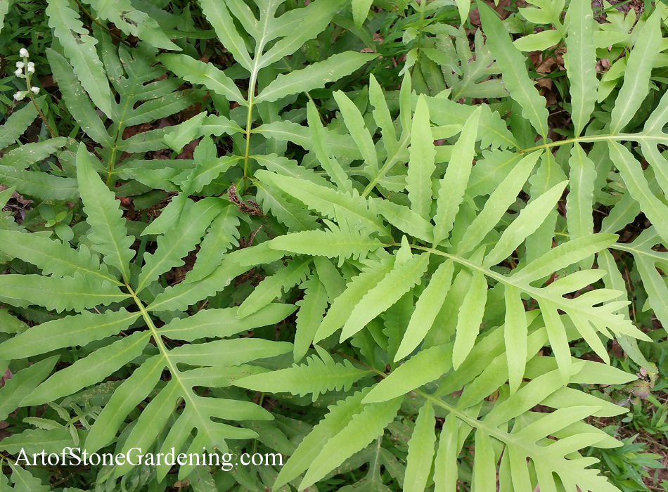 native ferns sensitive