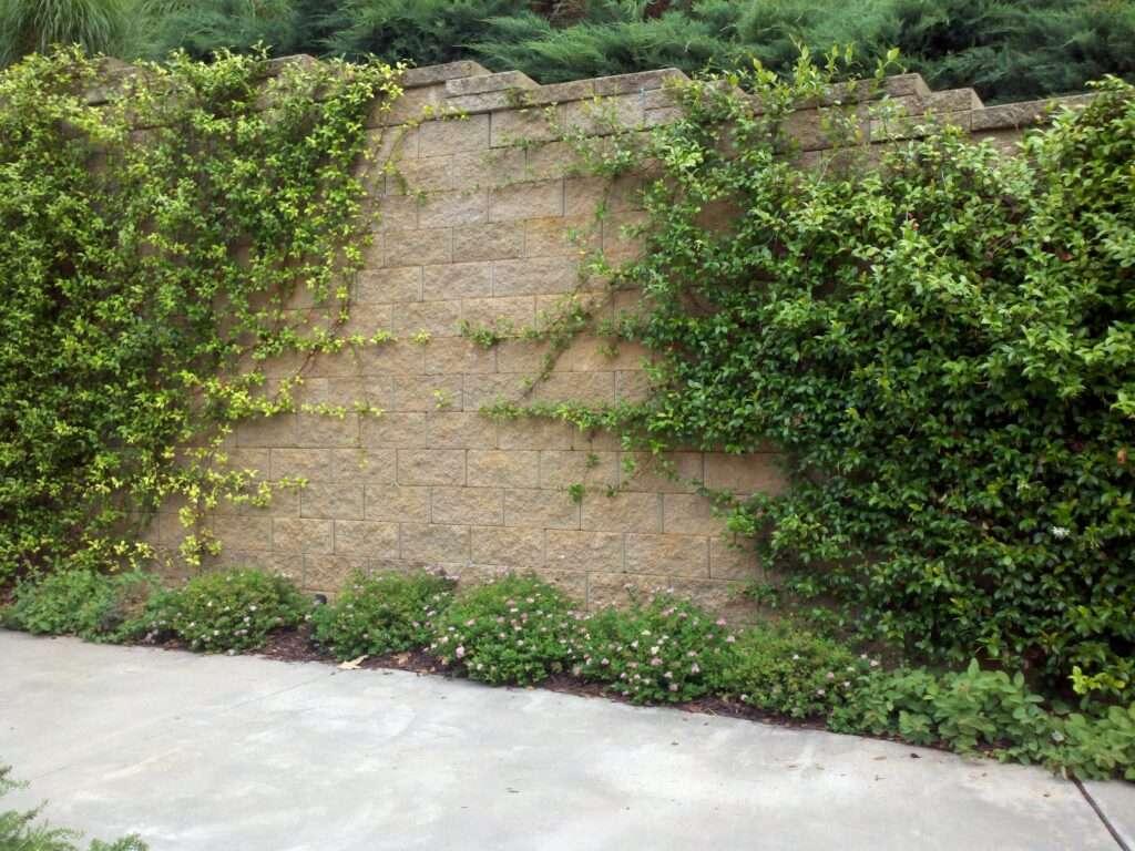Jasmine vine on retaining wall