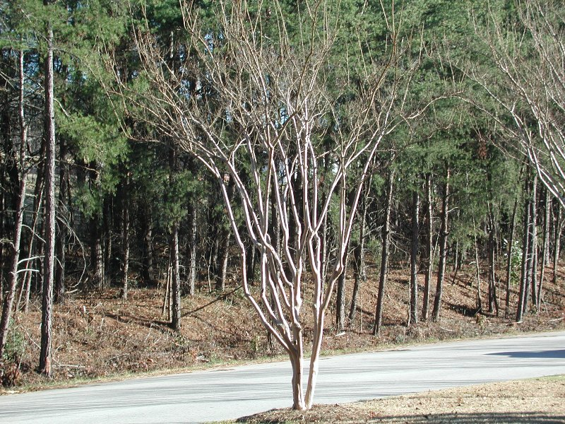 Properly pruned and thinned Crape Myrtle
